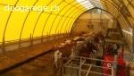 Ecurie vache-mères 15 places